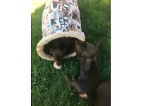 Min dachshund puppies