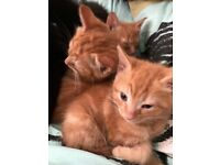 Black & Ginger kittens