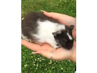 Baby guinea pigs female ready now beautiful litter