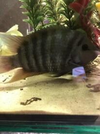 "4"" male convict cichlid tropical fish"