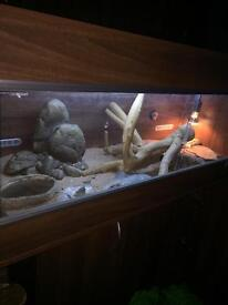 Bearded dragon WITH stand and tank ONLY £100!!!!!