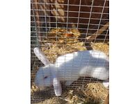 rabbit male pure white 4 month old large hutch and run