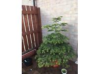 Fully potted Christmas tree