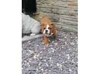 British Bulldog Pups KC Registered