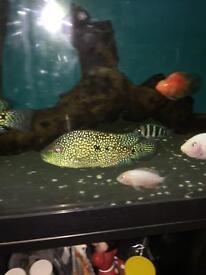 Electric blue Texas cichlid fish