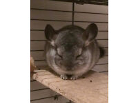 young chinchilla with cage