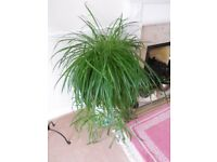 GIANT SPIDER PLANT