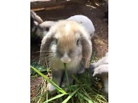 Lop eared rabbits looking for a good home