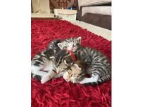 Kittens For Sale- ONLY 1 LEFT!