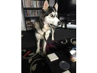 Malamute x husky 2yrs old female