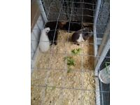 6 Male Guinea-pigs for sale £10 EACH