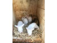 2 Pure White Baby Rabbits for Sale