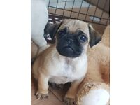 Pug in Northern Ireland | Dogs & Puppies for Sale - Gumtree