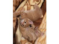 Ginger kittens ready to new home