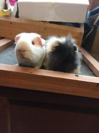 Lovely pair of baby guinea pig boars - £40 the pair