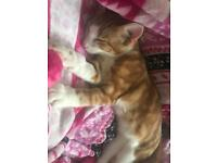 Ginger and white tabby male