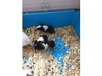 Two Guinea Pigs black white and ginger