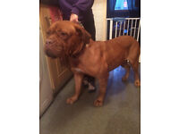 doguedebordeaux bitch ex ped,2 yr old 750