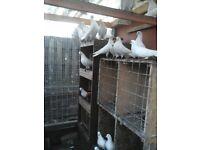 White garden pigeons