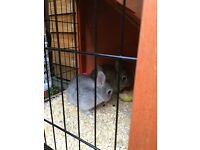 2 male rabbits with hutch and accessories