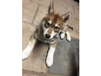 4 months old husky puppy for sale