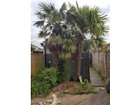2 x palm trees. Free. Buyer digs up / removes.