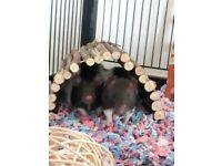 Beautiful 14 Week old Balck & White Male Rats, £60 inc cage, food, toys, bedding + Hammock