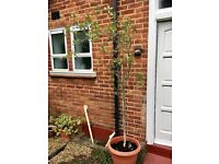 Olive tree - young, potted