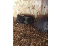 Pair of Baby Boy Guinea Pigs for sale