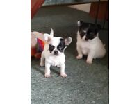 Rare white and black Long hair and short hair chihuahua puppies