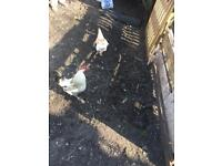 2 cockerels for sale