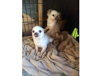 Chihuahua boy and girl 250