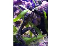 Pair of Brazilian ReIdi seahorses marine salt water fish tank aquarium