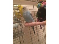 Beautiful baby Budgie for sale.