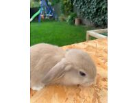 Cute baby mini lop rabbits for sale