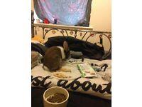 Lionhead baby rabbit and indoor hutch