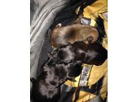 Staffy x puppies