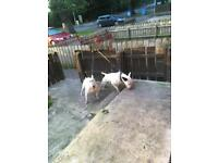 2 year old English bull terrier dog and bitch for sale