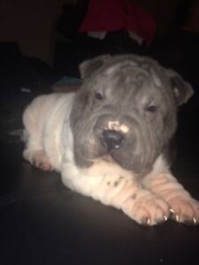 3 Purebred Male Shar Pei Puppies for sale