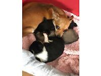 Puppies Chihuahuas