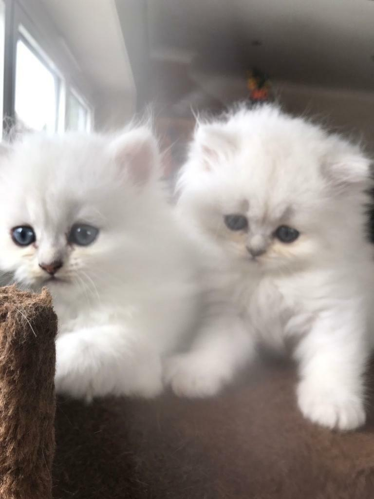 Pure white chinchilla Persian kittens for sale