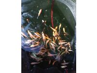 "Koi Carp for sale 2-10"" 250 available"