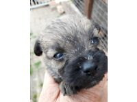 Border terrier x poodle puppies
