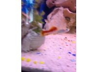 Guppy fish swordtail fish