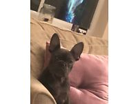 French bulldog for sale (fully blue )