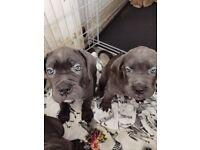 Cane corso puppies ICCF