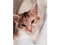 🌸🐱Gorgeous Female Ginger Kitten🐱🌸