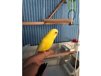 Semi tamed female budgie yellow colour with cage Roughly 10 months to 1 years old round acton