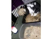 2 x 3mo old lop boys vaced chiped spayed and comes with dbl hutch toys food litter trained hay wood