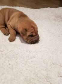 Beautiful Shar pei pups (male)